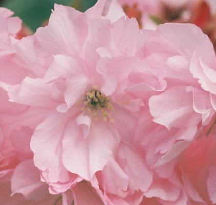 Cherry Blossoms 9