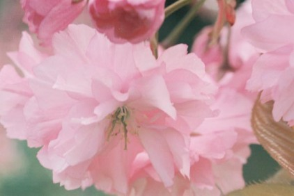 Cherry Blossoms 11
