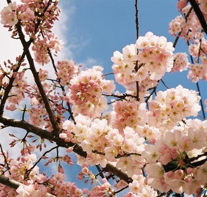 Cherry Blossoms 16