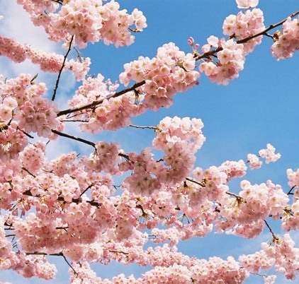 Cherry Blossoms 17
