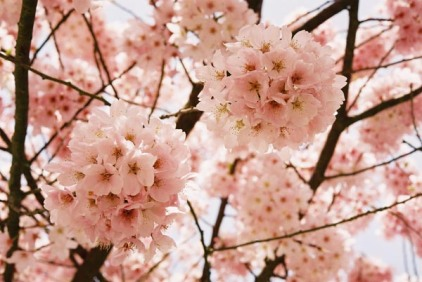 Cherry Blossoms 19