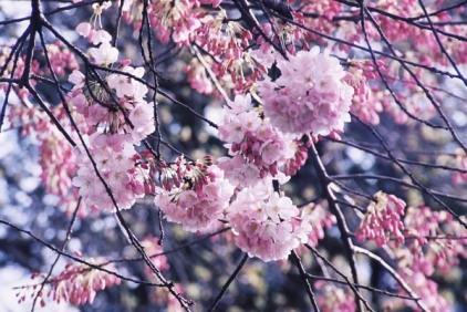 Cherry Blossoms 20