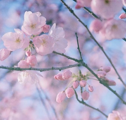 Cherry Blossoms 21