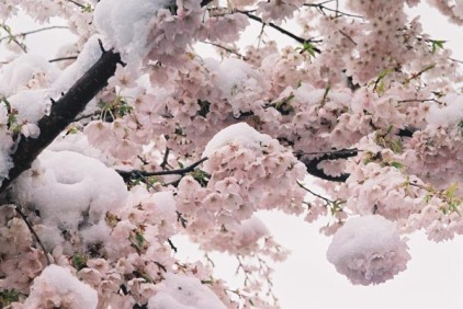 Cherry Blossoms 23