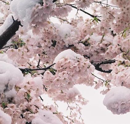 Cherry Blossoms 23