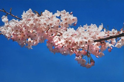 Cherry Blossoms 24