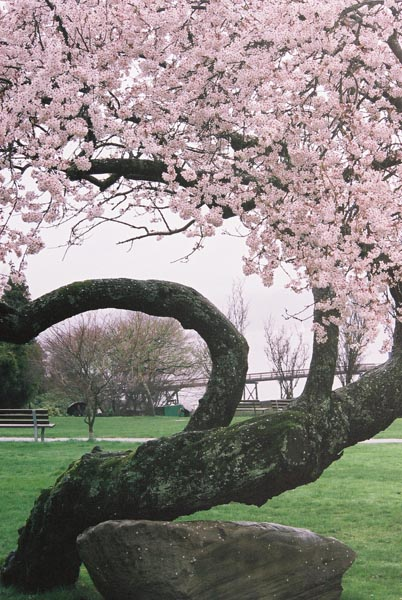 Cherry Blossoms 32