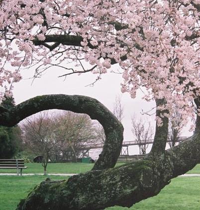 Cherry Blossoms 32