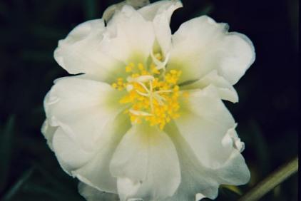 White Flowers 14