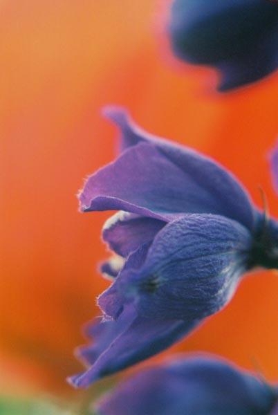 Blue Purple 20