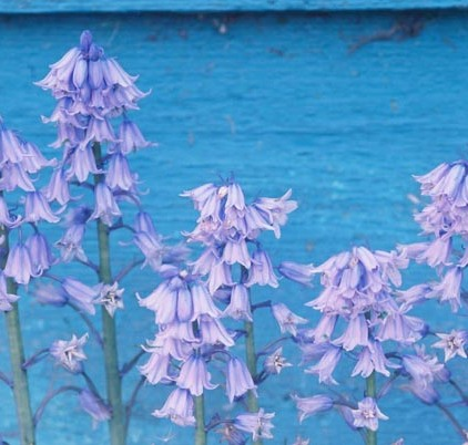 Bluebells 15