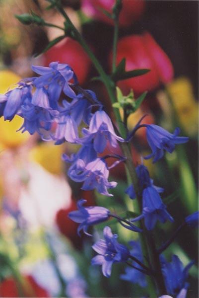 Bluebells 16