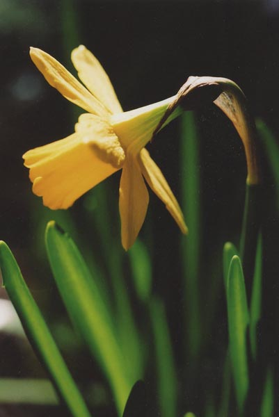 Daffodils 19