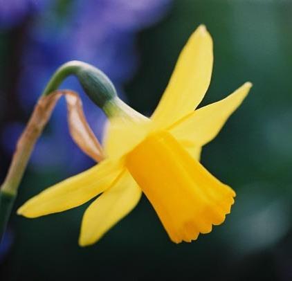 Daffodils 22