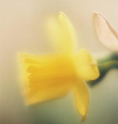 Daffodils 23