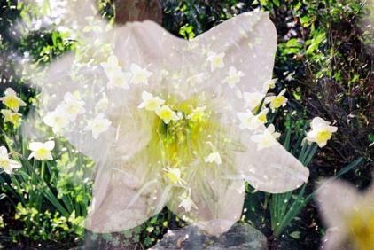 Daffodils 24