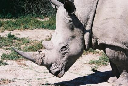 Rhinoceros 37