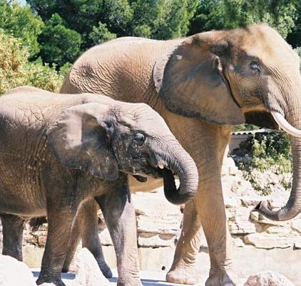 Elephants 39