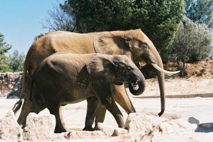 Elephants 40