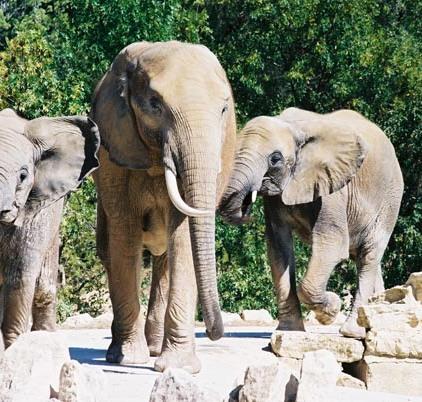 Elephants 41