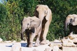 Elephants 42