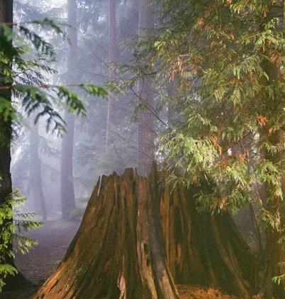 Trees in Fog 10