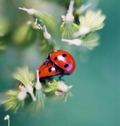 Ladybugs 7