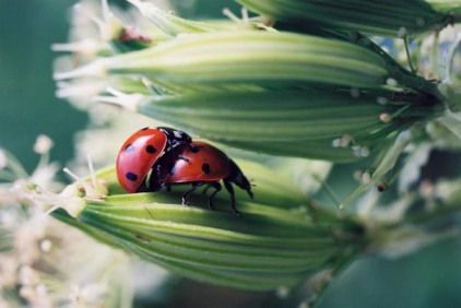 Ladybugs 8