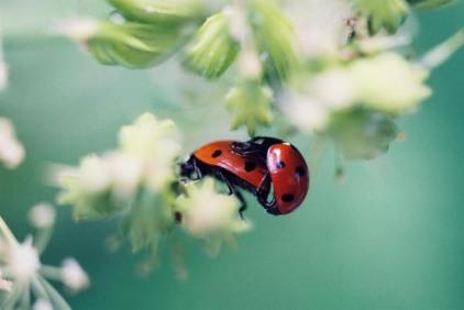 Ladybugs 9