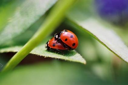 Ladybugs 10
