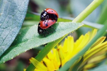 Ladybugs 11