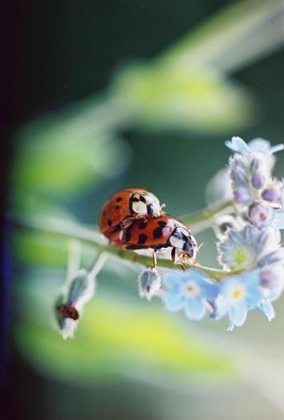 Ladybugs 12