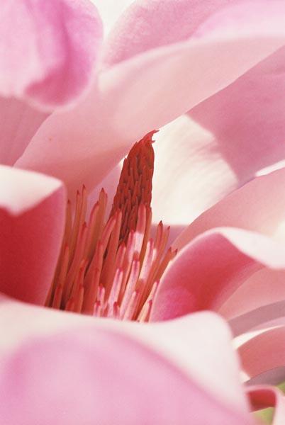 Magnolias 25