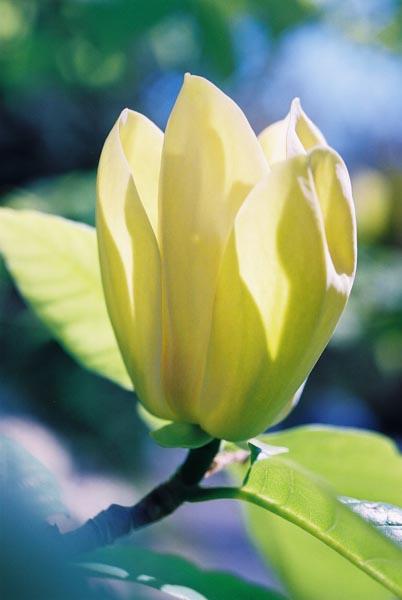 Magnolias 26