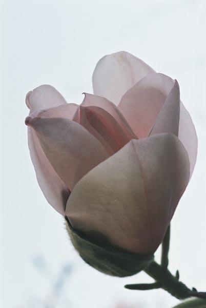 Magnolias 27