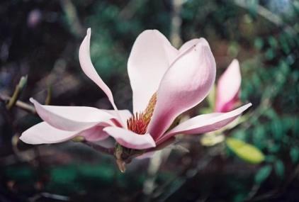 Magnolias 28