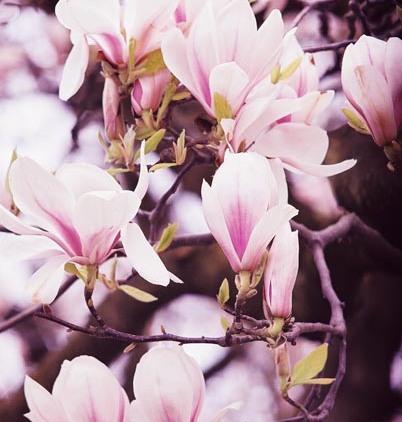 Magnolias 29