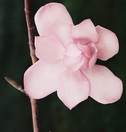 Magnolias 30