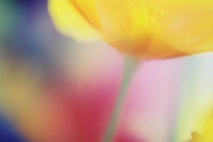 Poppies 15