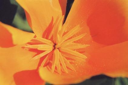 Poppies 21