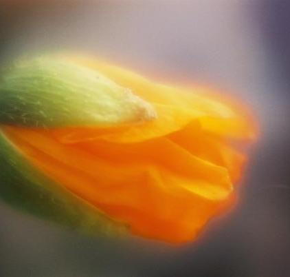 Poppies 25