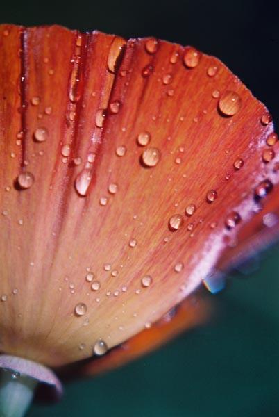 Poppies 29