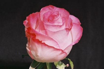 Roses 10