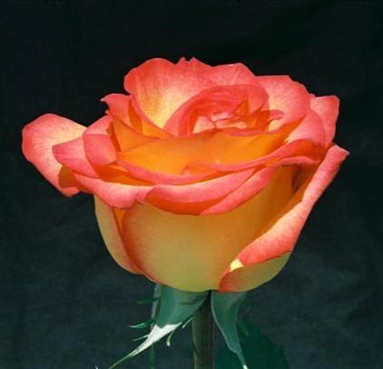 Roses 11