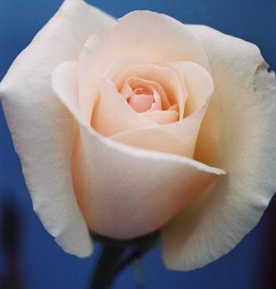 Roses 13