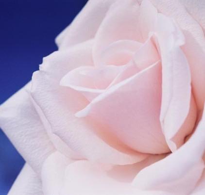 Roses 15