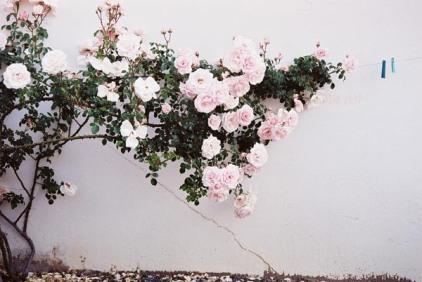 Roses 20