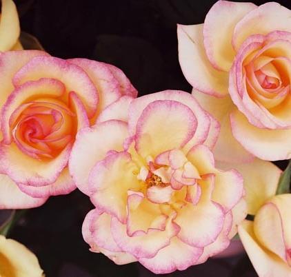 Roses 24
