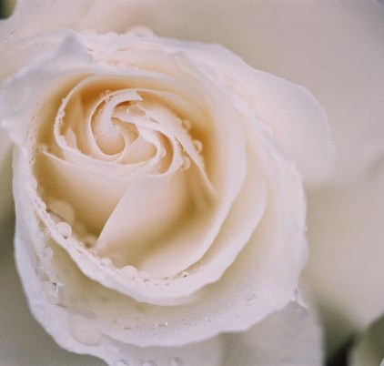 Roses 26