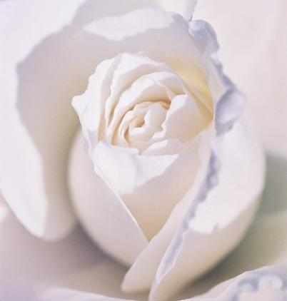 Roses 28